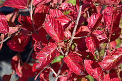 Chicago Lustre Viburnum (Viburnum dentatum 'Synnesvedt') at Wallitsch Nursery And Garden Center