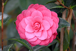 April Kiss Camellia (Camellia japonica 'April Kiss') at Wallitsch Nursery And Garden Center
