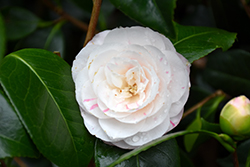 April Dawn Camellia (Camellia japonica 'April Dawn') at Wallitsch Nursery And Garden Center