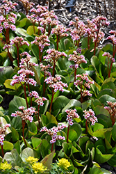 Pink Dragonfly Bergenia (Bergenia 'Pink Dragonfly') at Wallitsch Nursery And Garden Center