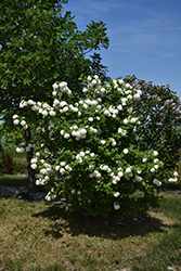 Snowball Viburnum (Viburnum opulus 'Roseum') at Wallitsch Nursery And Garden Center
