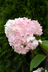Strawberry Shake Hydrangea (Hydrangea paniculata 'SMHPCW') at Wallitsch Nursery And Garden Center