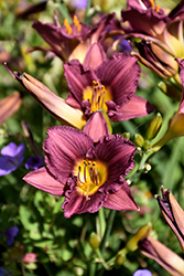 Purple de Oro Daylily (Hemerocallis 'Purple de Oro') at Wallitsch Nursery And Garden Center