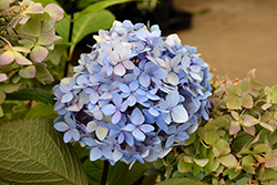 Blue Enchantress Hydrangea (Hydrangea macrophylla 'Monmar') at Wallitsch Garden Center