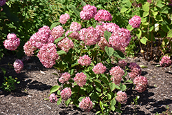 Invincibelle® Ruby Smooth Hydrangea (Hydrangea arborescens 'NCHA3') at Wallitsch Garden Center