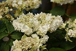 Wedding Gown Hydrangea (Hydrangea macrophylla 'Wedding Gown') at Wallitsch Garden Center