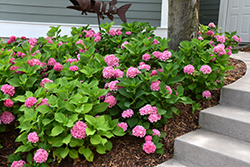 Let's Dance® Rhythmic Blue™ Hydrangea (Hydrangea macrophylla 'SMHMES14') at Wallitsch Garden Center