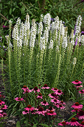 Floristan White Blazing Star (Liatris spicata 'Floristan White') at Wallitsch Nursery And Garden Center