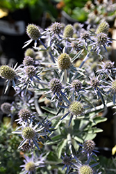Blue Hobbit Sea Holly (Eryngium planum 'Blue Hobbit') at Wallitsch Garden Center