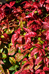 Fire Power Nandina (Nandina domestica 'Fire Power') at Wallitsch Nursery And Garden Center