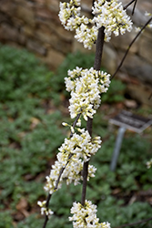 Vanilla Twist® Weeping Redbud (Cercis canadensis 'Vanilla Twist') at Wallitsch Nursery And Garden Center