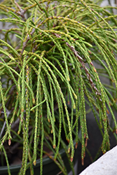Whipcord Arborvitae (Thuja plicata 'Whipcord') at Wallitsch Garden Center