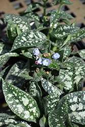 Twinkle Toes Lungwort (Pulmonaria 'Twinkle Toes') at Wallitsch Garden Center
