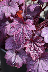 Electric Plum Coral Bells (Heuchera 'Electric Plum') at Wallitsch Nursery And Garden Center