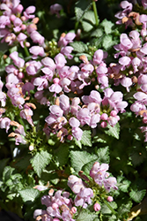 Pink Pewter Spotted Dead Nettle (Lamium maculatum 'Pink Pewter') at Wallitsch Nursery And Garden Center