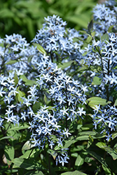 Storm Cloud Bluestar (Amsonia tabernaemontana 'Storm Cloud') at Wallitsch Nursery And Garden Center