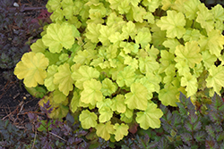 Primo® Pretty Pistachio Coral Bells (Heuchera 'Pretty Pistachio') at Wallitsch Nursery And Garden Center