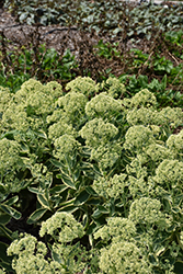 Frosted Fire Stonecrop (Sedum 'Frosted Fire') at Wallitsch Garden Center