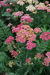 Sassy Summer Taffy Yarrow (Achillea 'Sassy Summer Taffy') at Wallitsch Garden Center