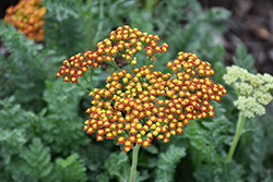 Sassy Summer Sunset Yarrow (Achillea 'Sassy Summer Sunset') at Wallitsch Garden Center