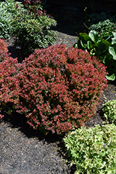Golden Ruby Barberry (Berberis thunbergii 'Goruzam') at Wallitsch Garden Center