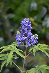 Blue Puffball™ Chaste Tree (Vitex agnus-castus 'PIIVAC-II') at Wallitsch Garden Center
